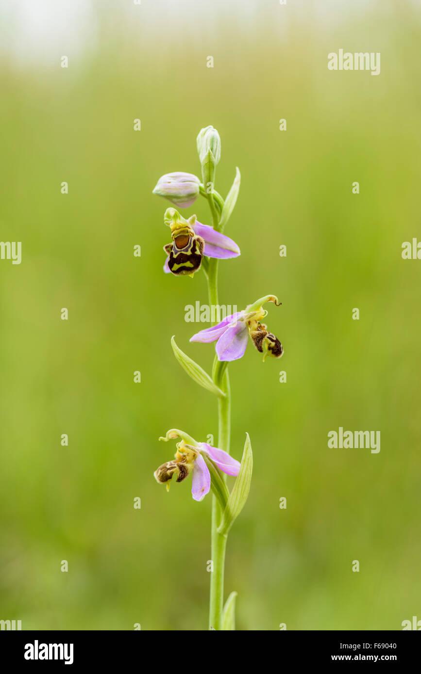 Bienen Ragwurz, Ophrys apifera, Bee Orchid Stock Photo