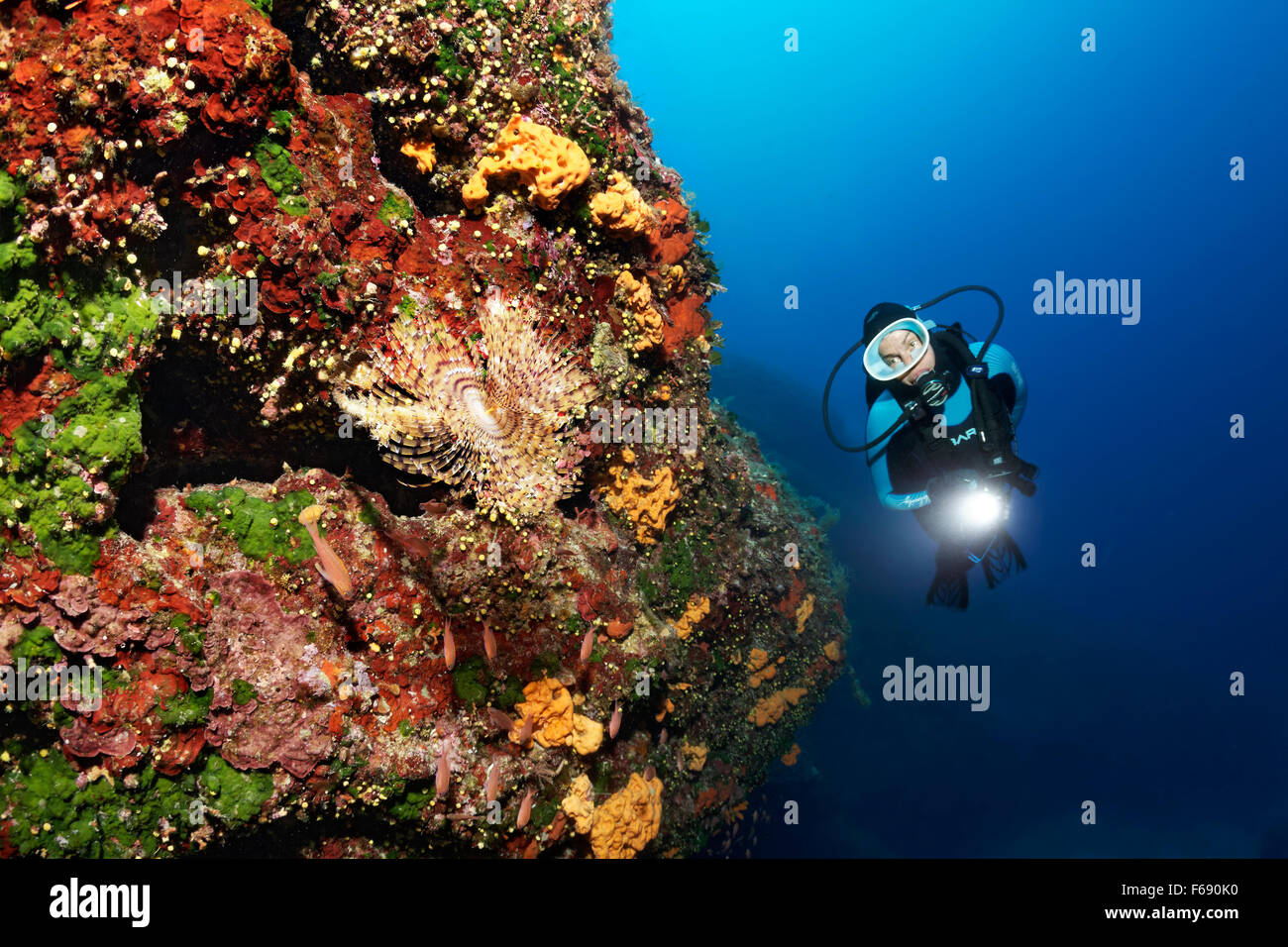 Diver with lamp, steep wall with pencil worms (Sabella spallanzani) growing on sponges (Polifera) and sunset cup - Stock Image