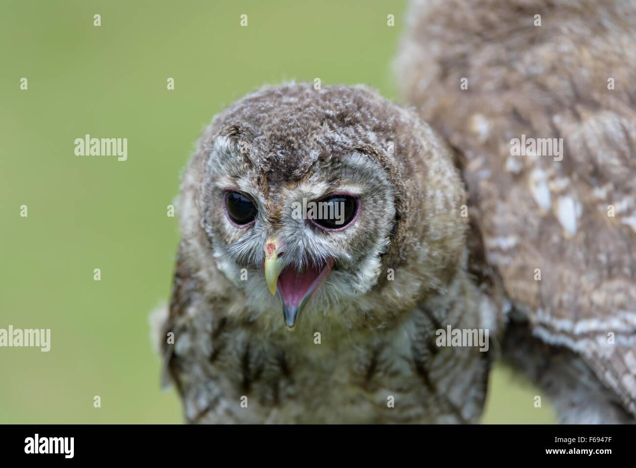 Junger Waldkauz, Strix aluco, Young Tawny Owl Stock Photo