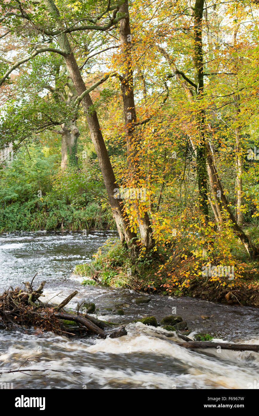 Autumn colours of leaves on trees overhanging fast flowing water of River Erme near Ermington, South Devon - Stock Image