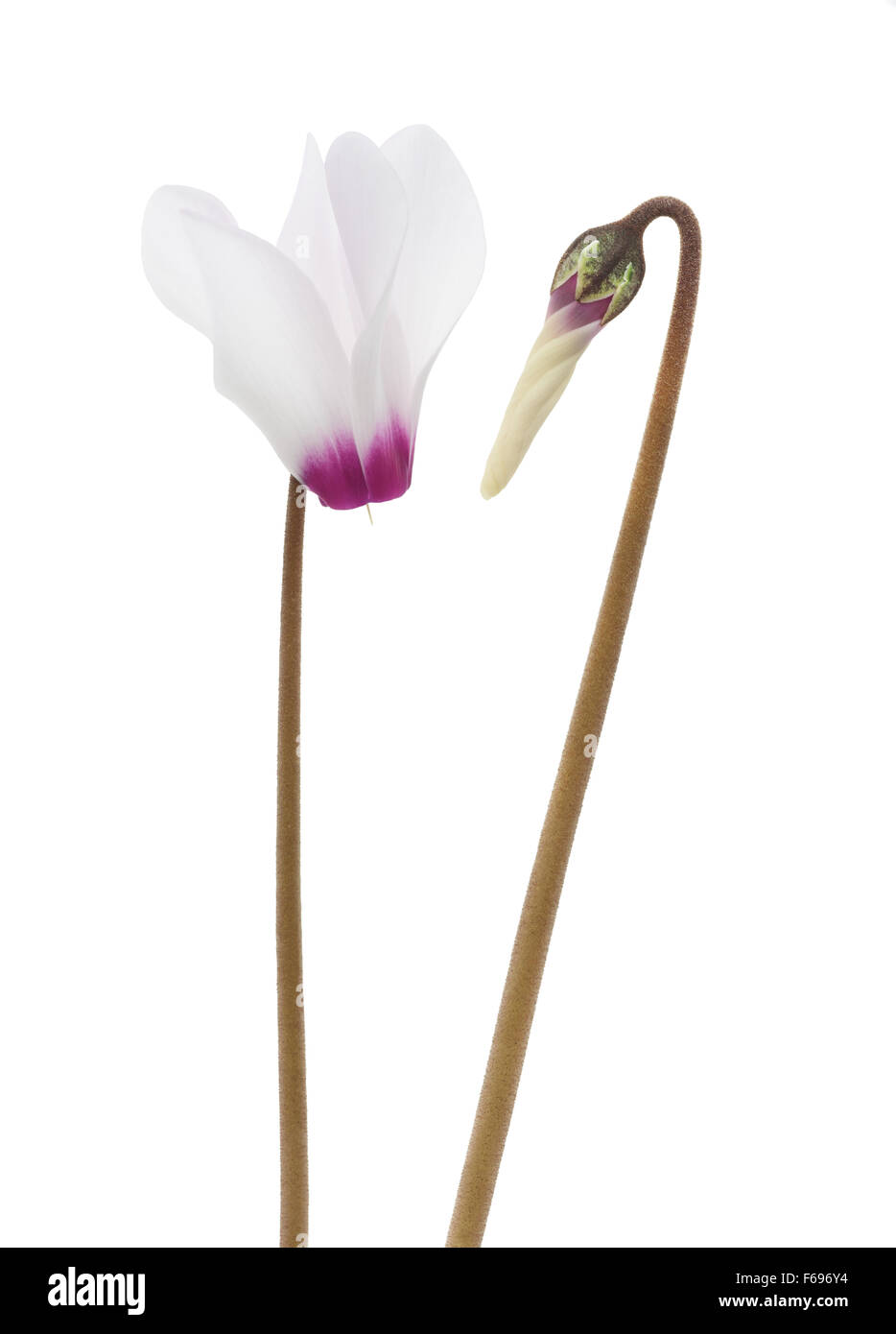 cyclamen flowers isolated on white background - Stock Image