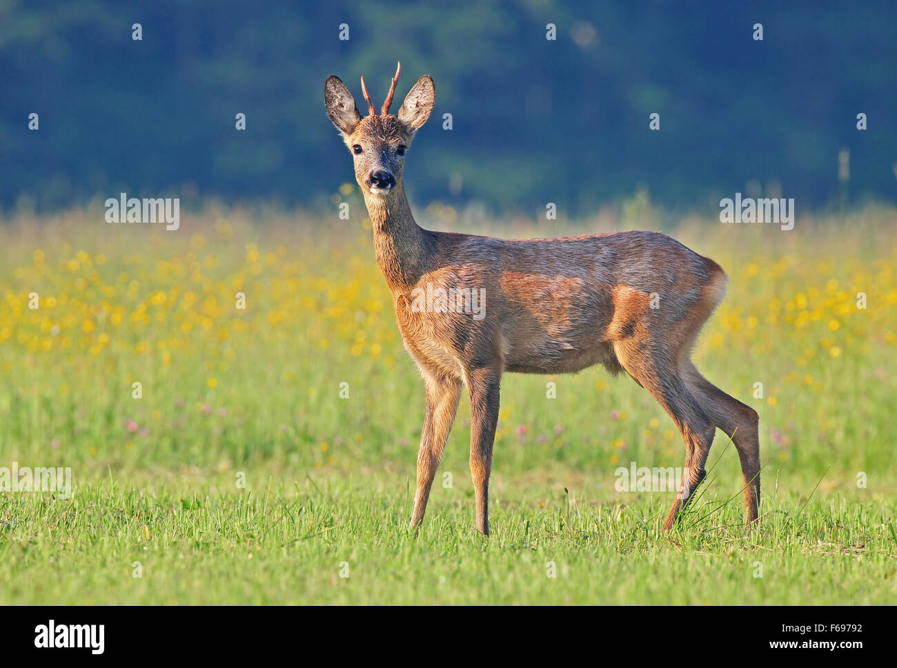 Photo of male roe deer in a field - Stock Image