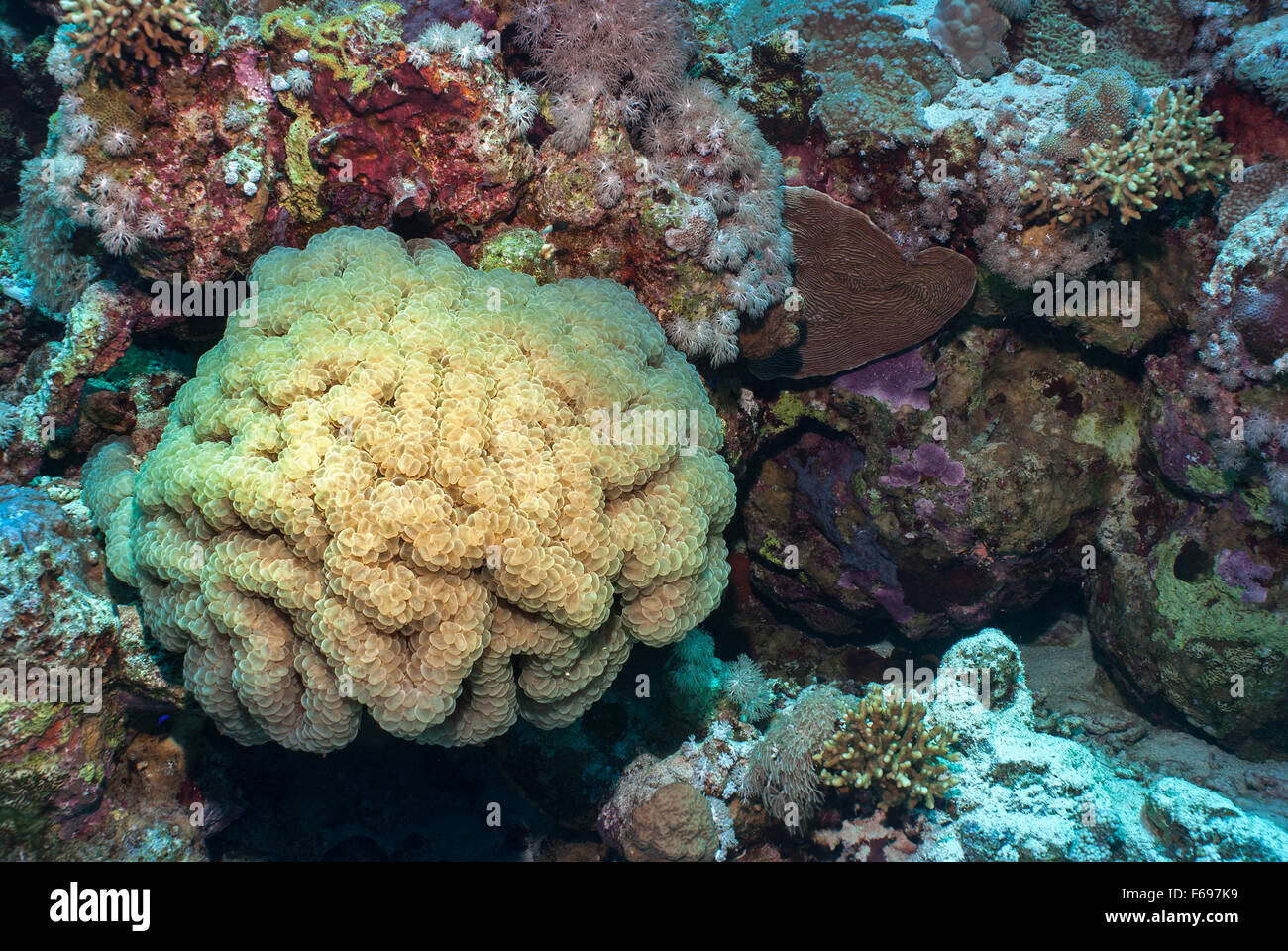 Bubble coral, Plerogyra sinuosa, Caryophylliidae, Sharm el Sheikh, Red Sea, Egypt - Stock Image