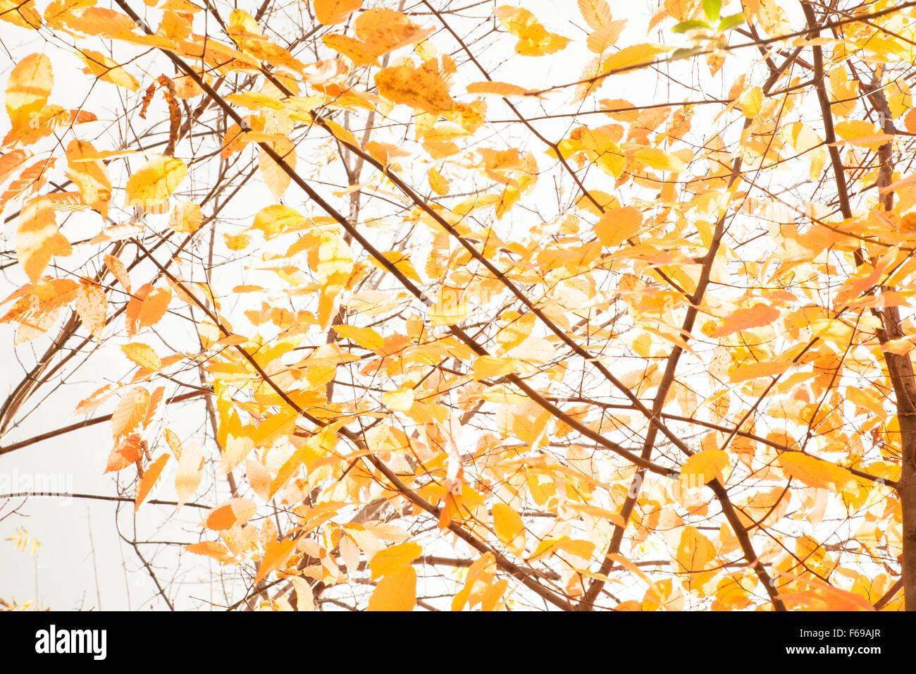 Yellow leaves cling to branches in the fall. - Stock Image