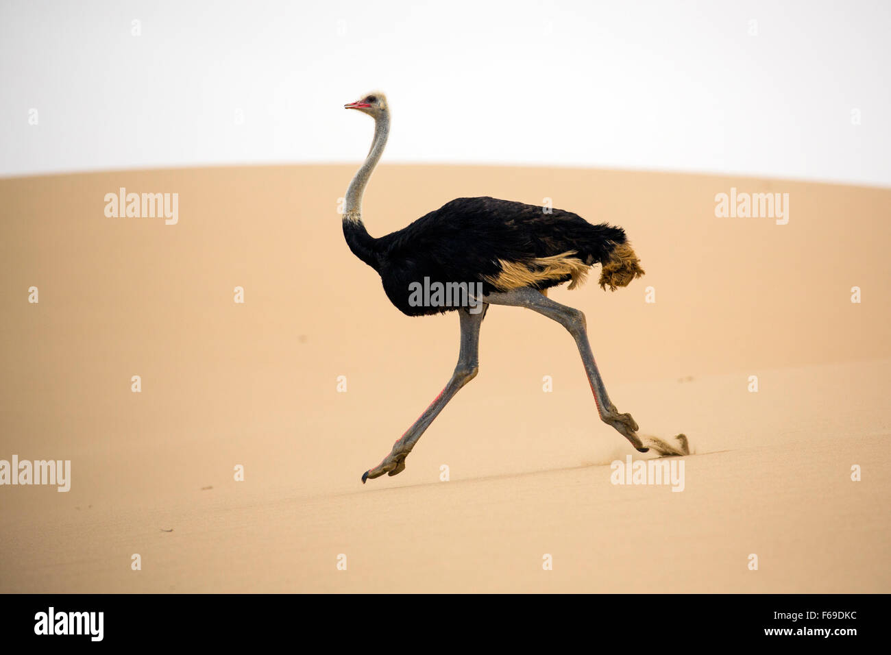 Ostrich running across sand dunes at Sandwich Harbor, Namibia, Africa Stock Photo