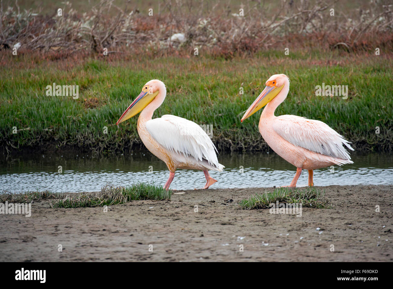 African white pelicans at Walvis Bay, Namibia, Africa - Stock Image