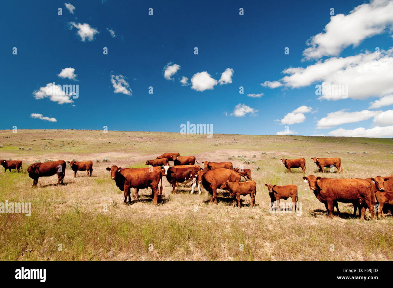 Red Angus cattle on open range in eastern Oregon Stock Photo