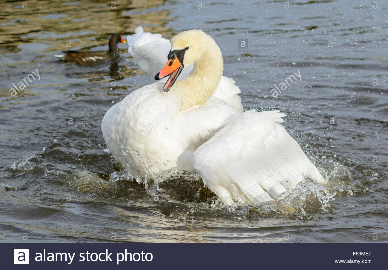Adult White Mute Swan (Cygnus olor) flapping it's wings in water in Winter in West Sussex, England, UK. - Stock Image