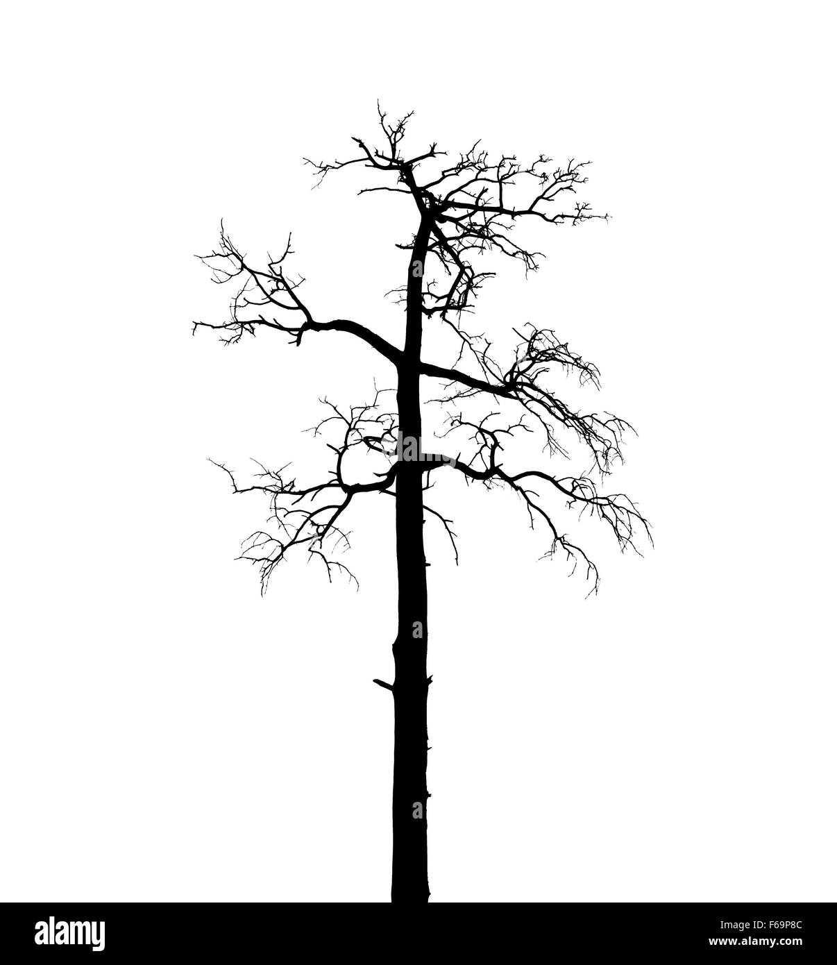 Dry dead European pine tree isolated on white background - Stock Image