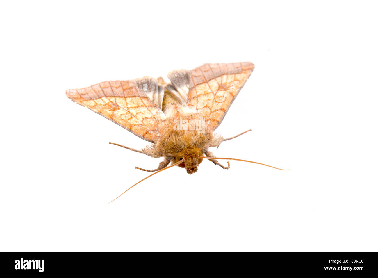 Clothes Moth Stock Photos Amp Clothes Moth Stock Images Alamy