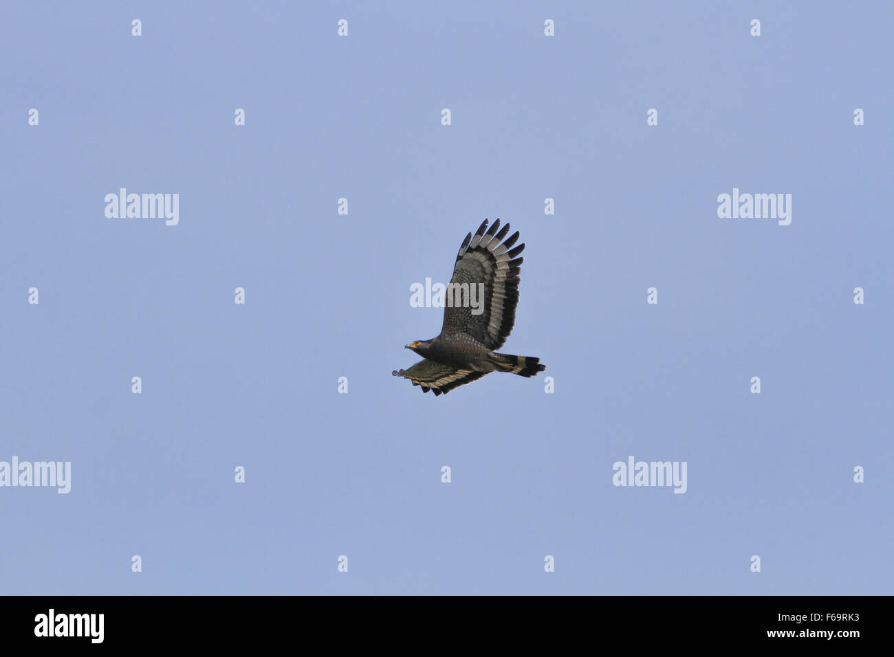 Crested Serpent Eagle In Flight On The Sky
