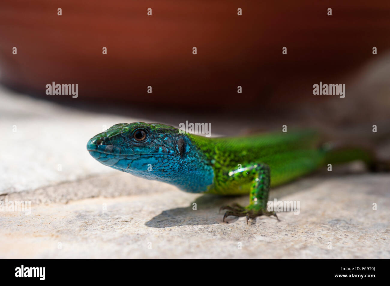 European Green Lizard  (Lacerta viridis) on stone wall - Stock Image