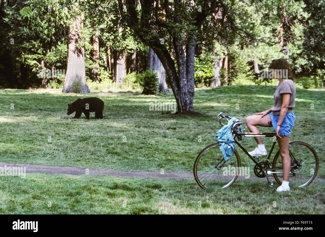A female visitor on a bicycle pauses along a path to watch an American black bear (Ursus americanus) that is crossing - Stock Image