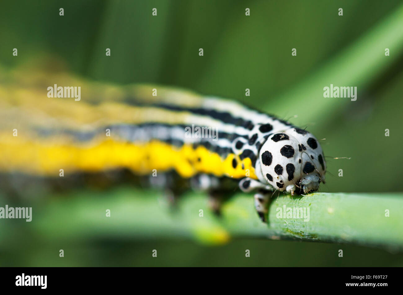 Caterpillar on the stem of a plant - Stock Image