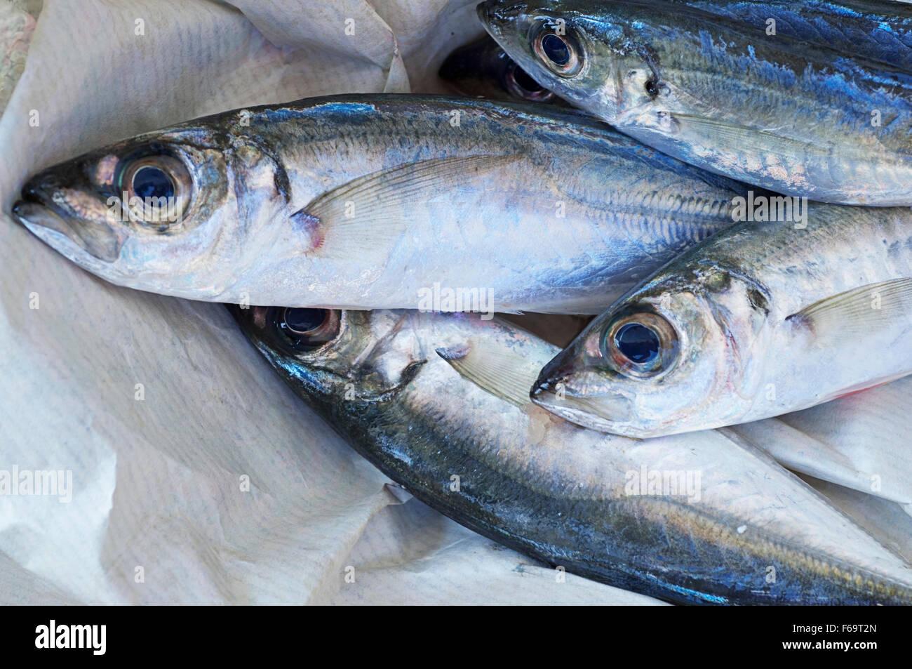 Freshly caught sardines Stock Photo