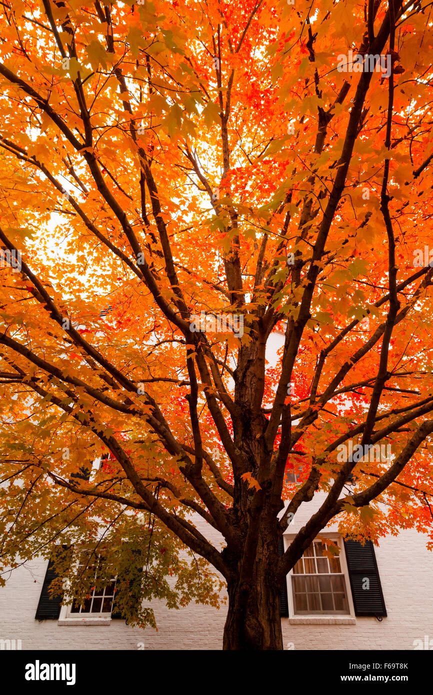 Maple tree in autumn against a white house, Stowe, Vermont, New England, USA - Stock Image