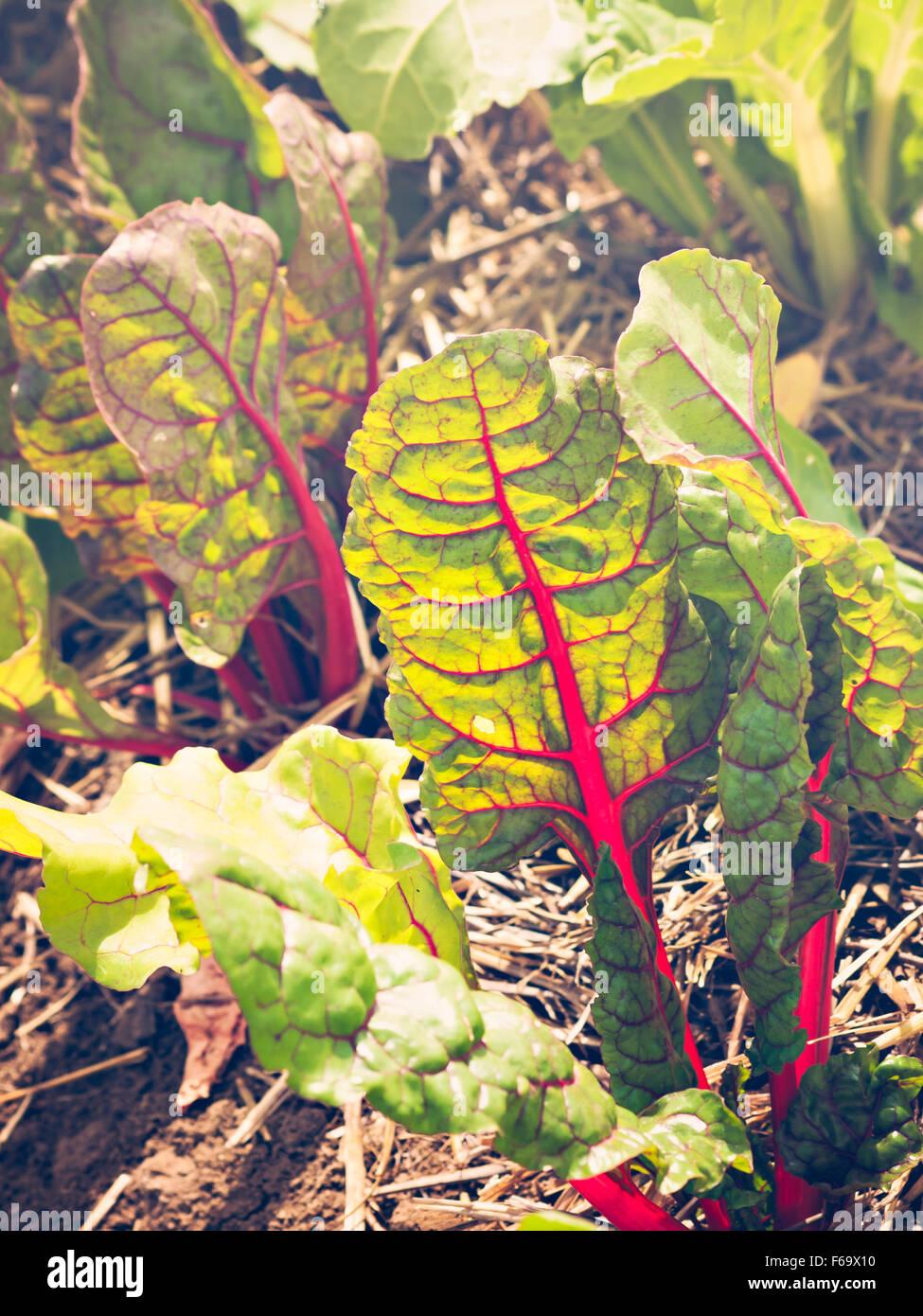 Organic vegetable garden on the far. - Stock Image