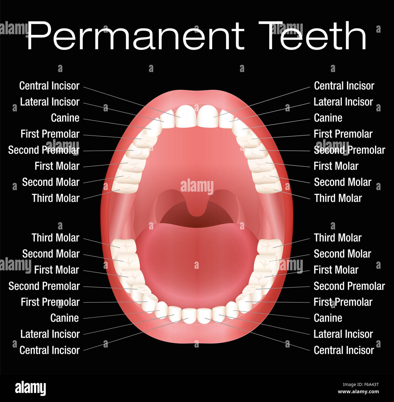 32 Tooth Diagram With Names - Wiring Diagram List