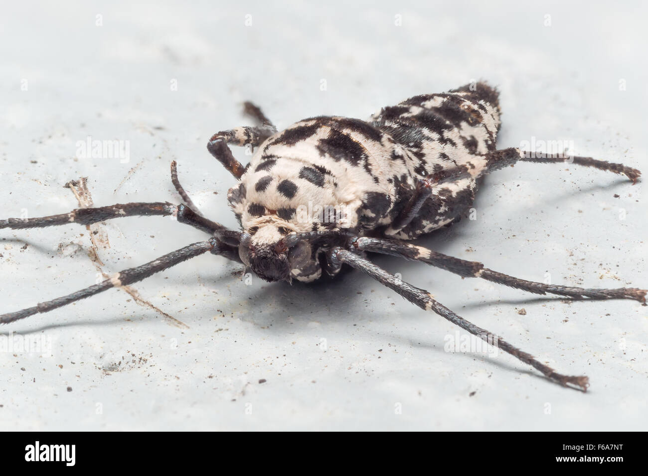 female mottled umber moths are wingless, and lay eggs by using silk to attach to hard surfaces. - Stock Image