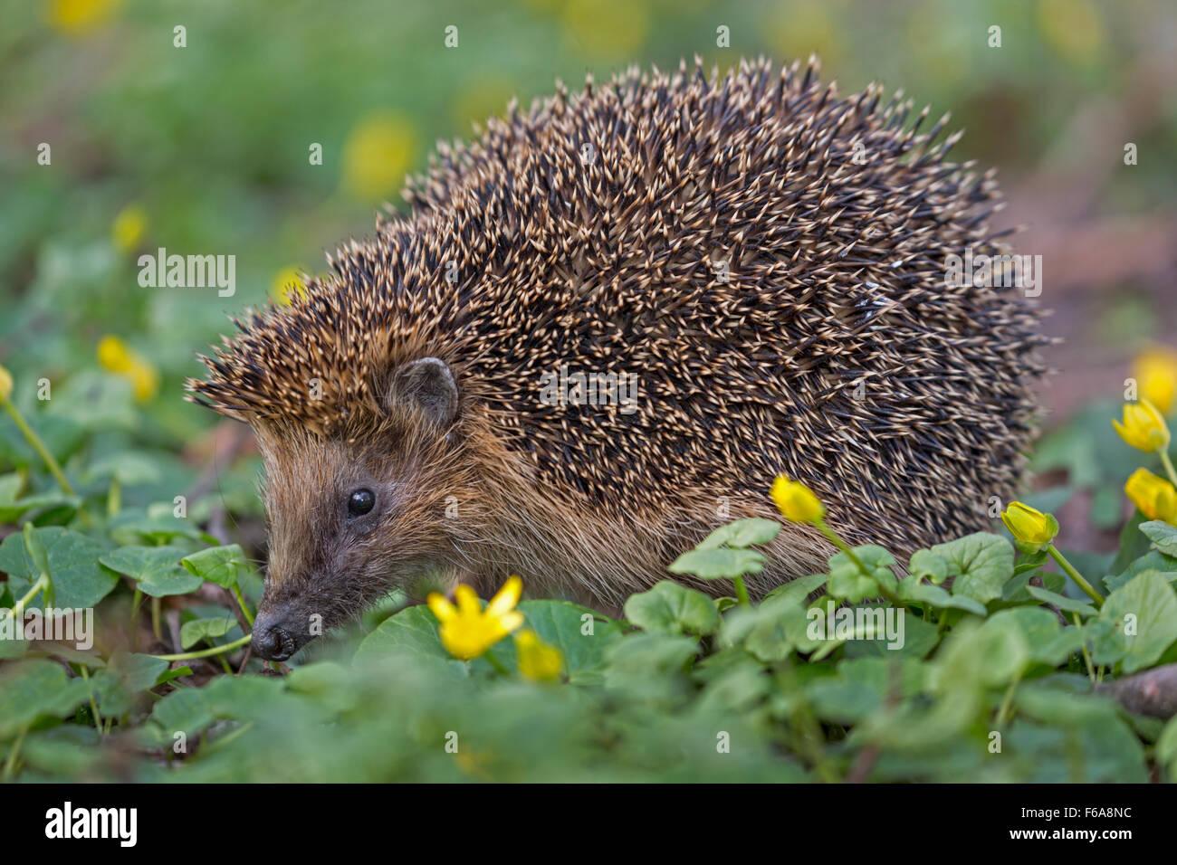 Common hedgehog, Schleswig Holstein, Germany, Europe / Erinaceus europaeus - Stock Image