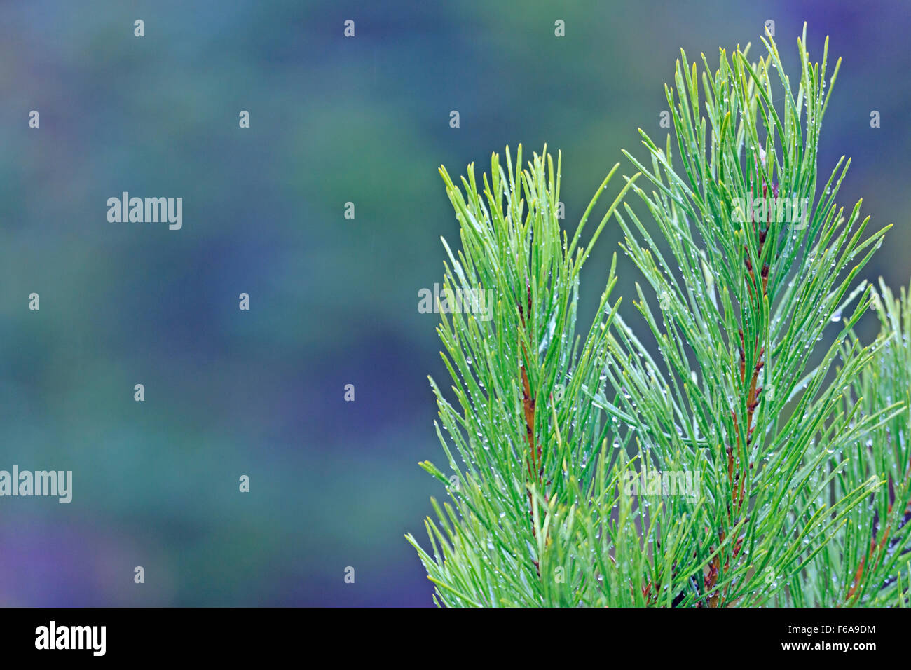 Pine tree seedling growing in replanted forest, near Smithers, British Columbia - Stock Image