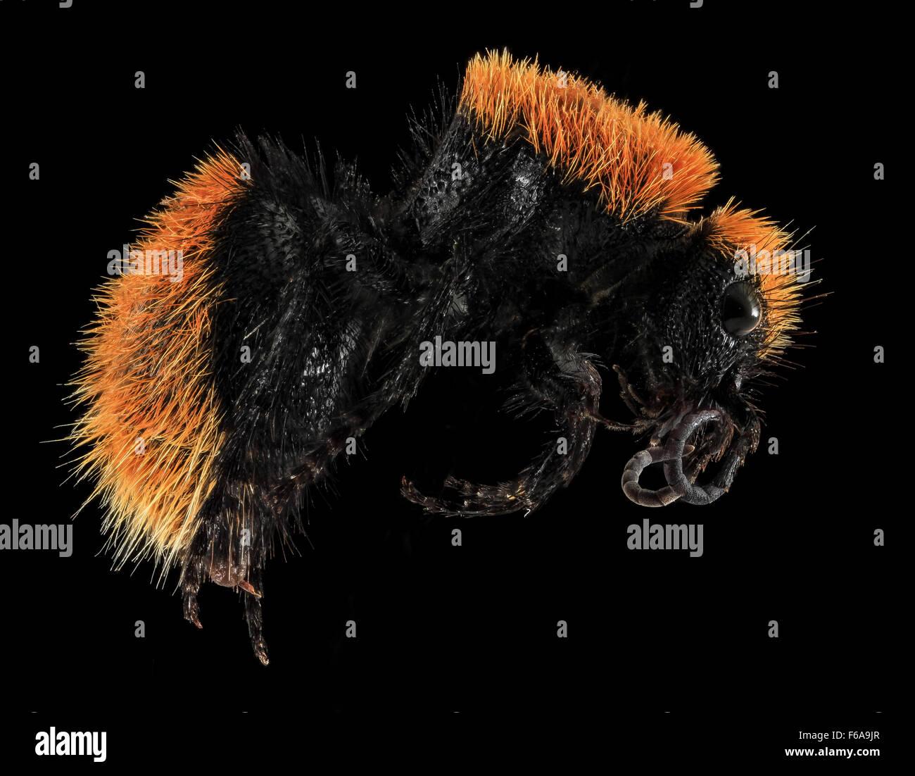 Velvet Ant, side, Badlands, Pennington Co, SD 2013-12-31-141337 ZS PMax - Stock Image