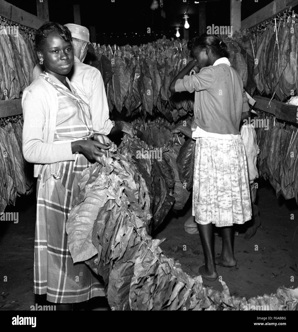 Tobacco workers hanging leaves at Charles Brinks' farm in Quincy - Stock Image