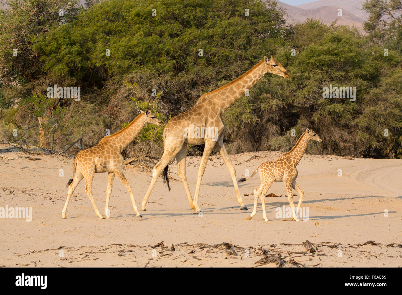 Giraffes in the Kaokoveld, Namibia, Africa - Stock Image