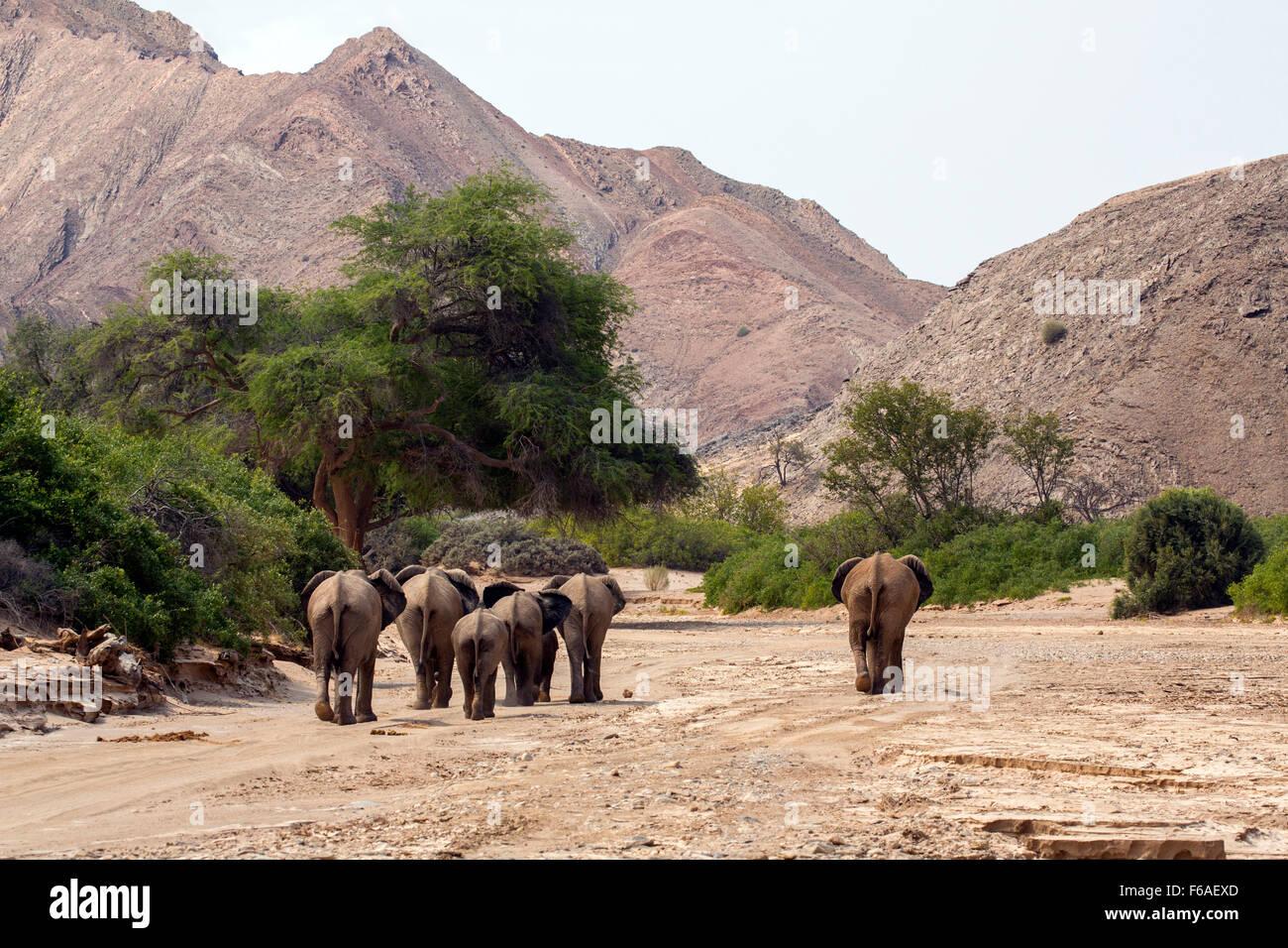 Elephants walking into Kaokoveld, Namibia, Africa - Stock Image