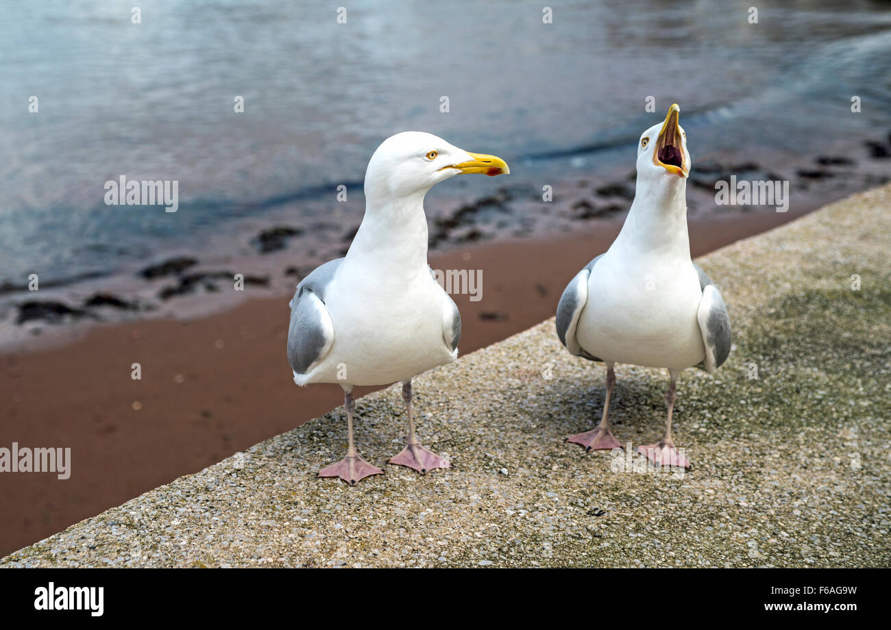 Herring Gulls Pair, one squawking loudly, at a beach in Paignton, Devon - Stock Image