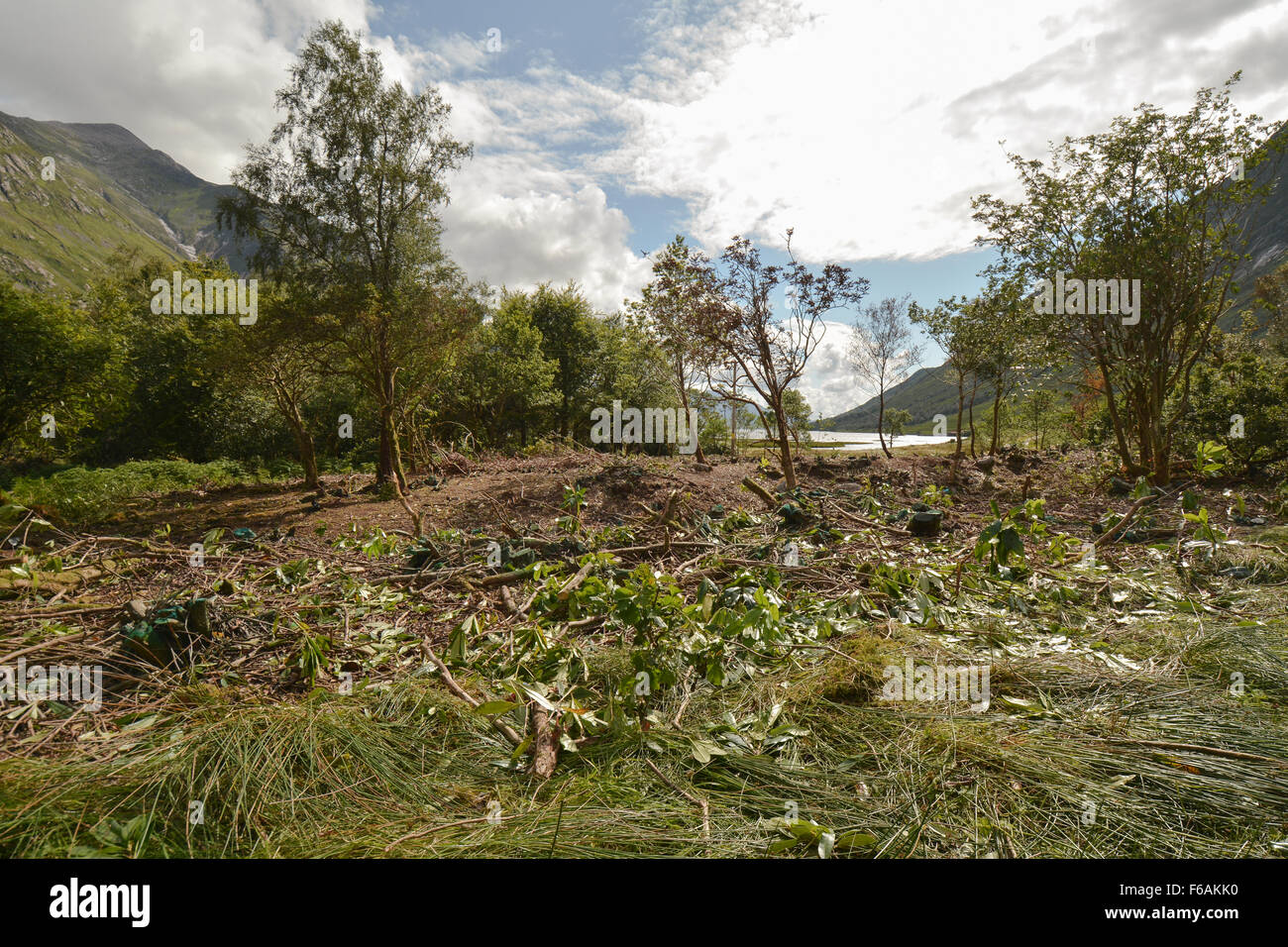 Invasive Rhododendron clearance and management in the Scottish Highlands - Glen Etive close to Loch Etive, Scotland, Stock Photo