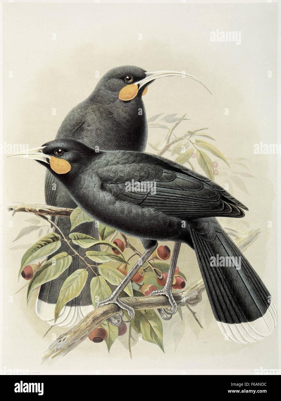 Keulemans, John Gerrard 1842-1912 Huia (male and female) Heteralocha acutirostris(Three-fifths Stock Photo