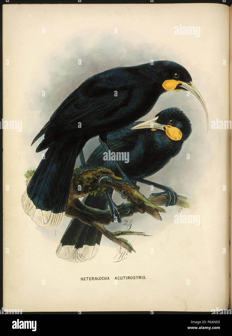 Keulemans, John Gerrard, 1842-1912 Heteralocha acutirostris [Huia Male and female] Stock Photo
