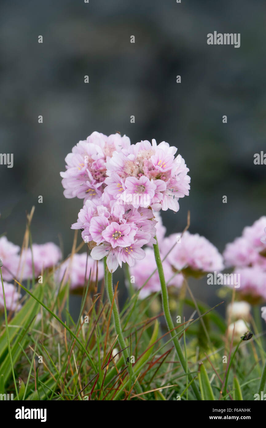 Single Flower, Coastal Thrift, Armeria maritima, Sea Pink, Cornwall - Stock Image