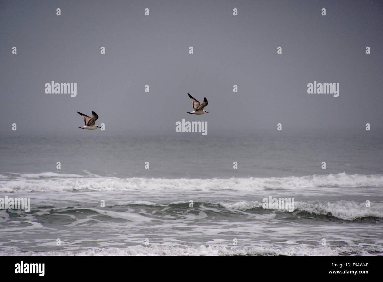Herring Gulls flying over the sea - Stock Image