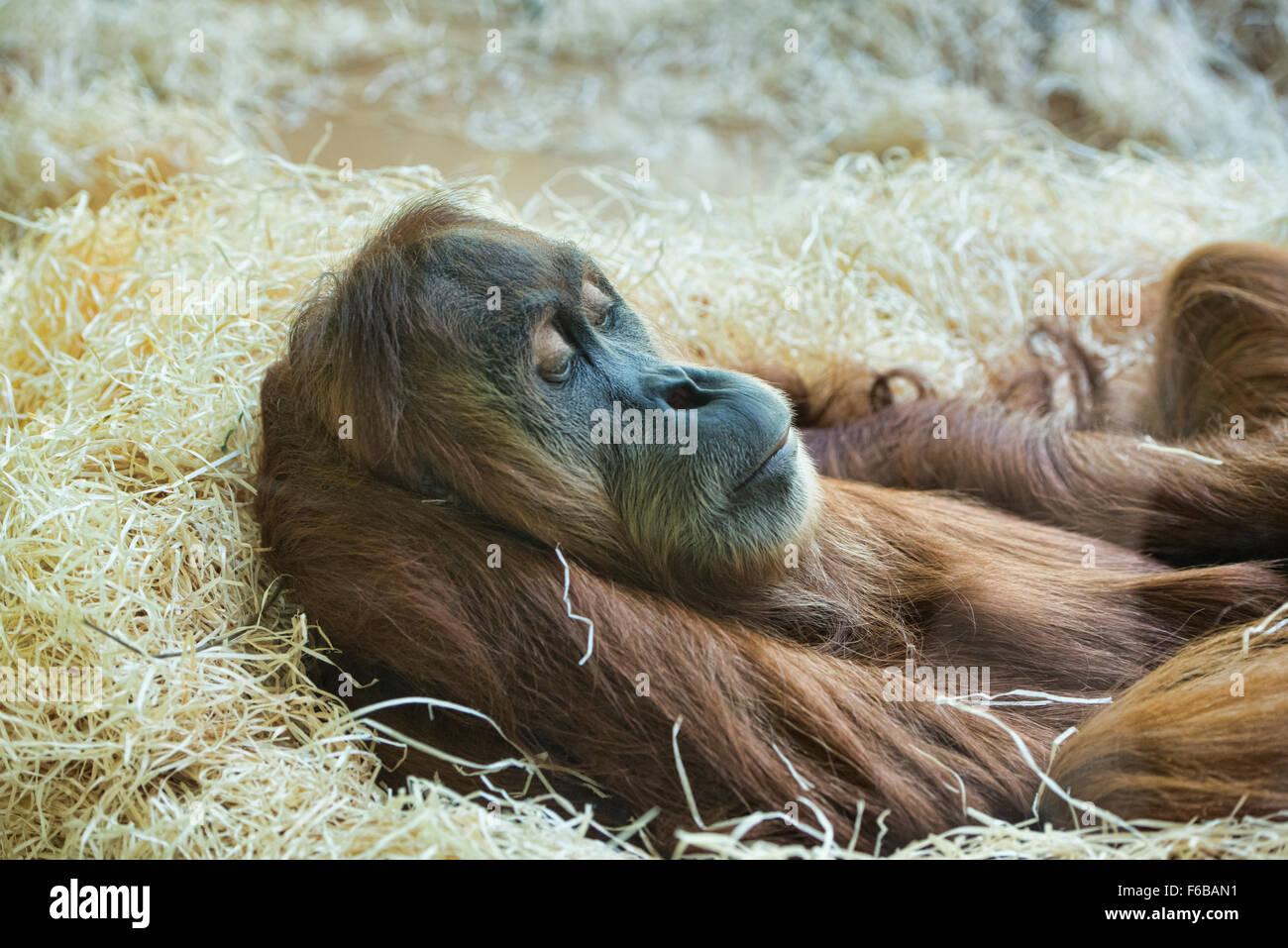 Sumatran orangutan (Pongo abelii) at rest Stock Photo