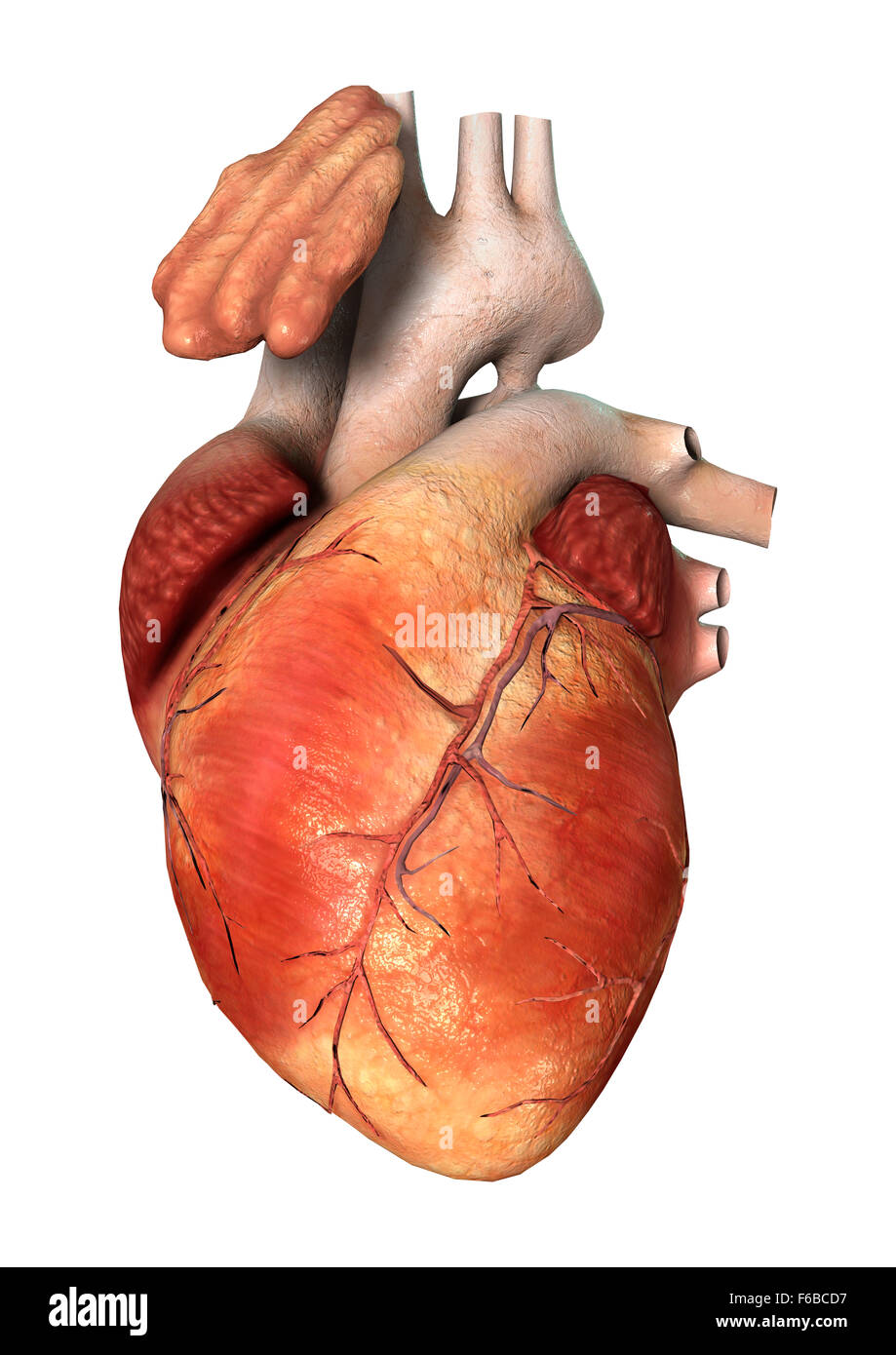 3d Digital Render Of A Human Heart Isolated On White Background