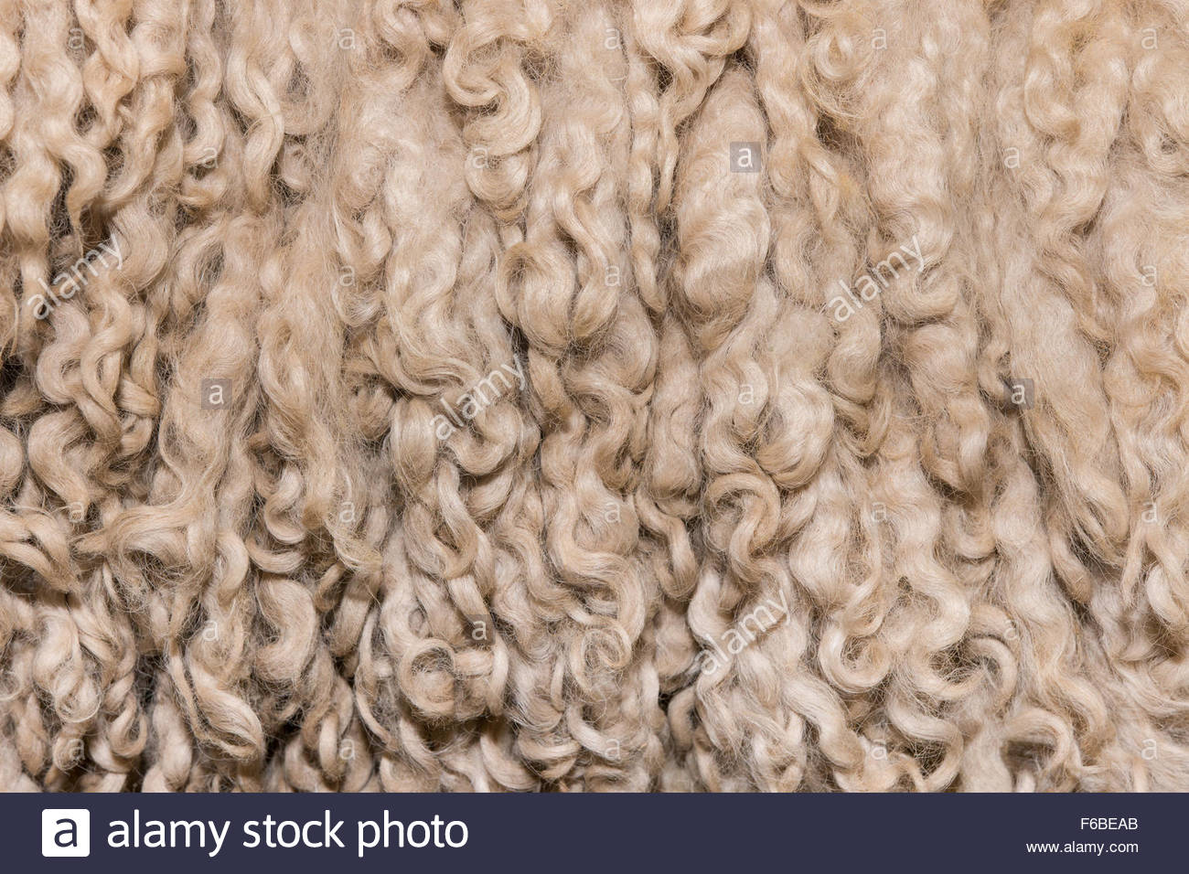 Texture of unprocessed curly merino wool - Stock Image