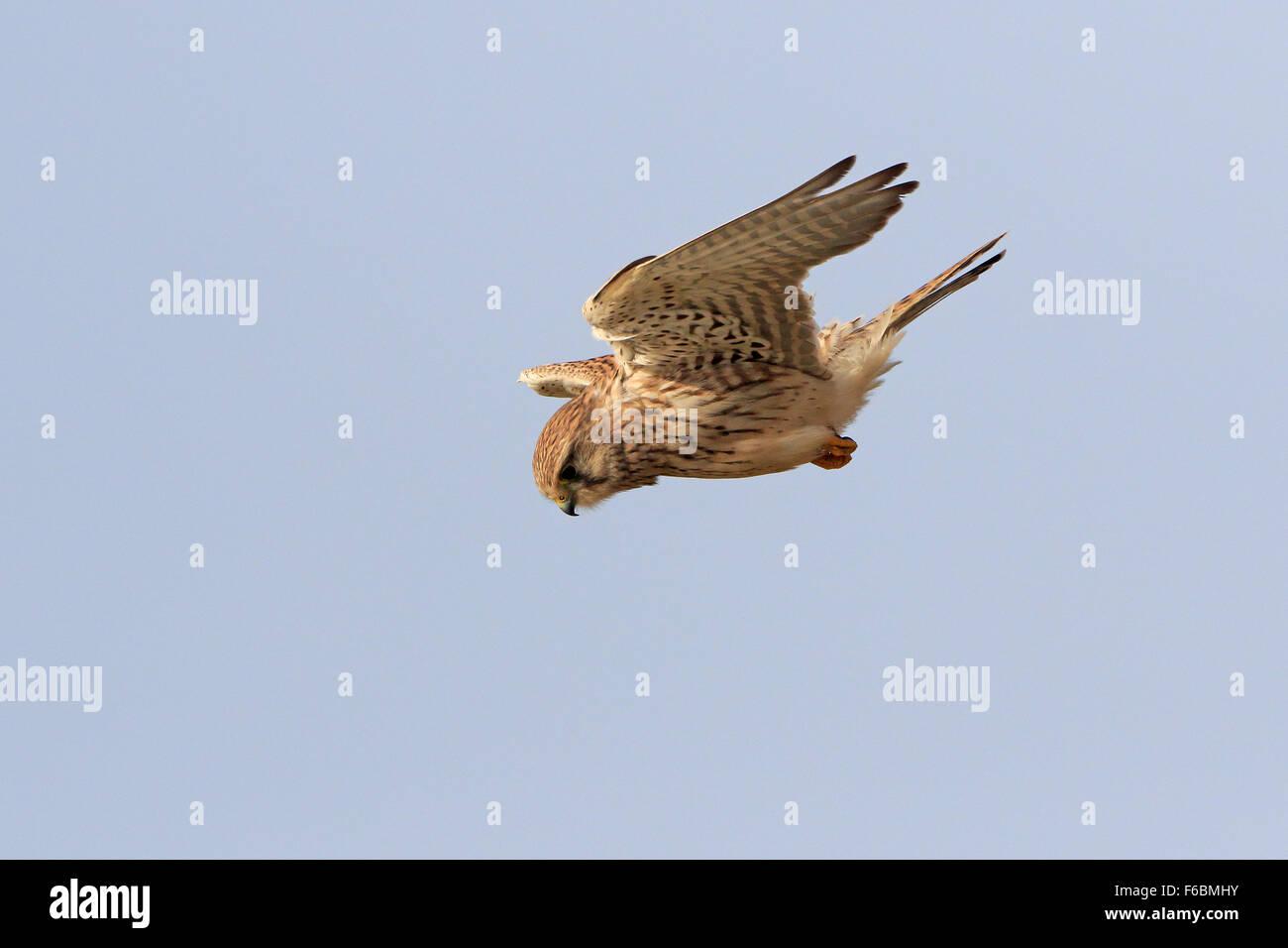 Female Common Kestrel hovering in the wind - Stock Image