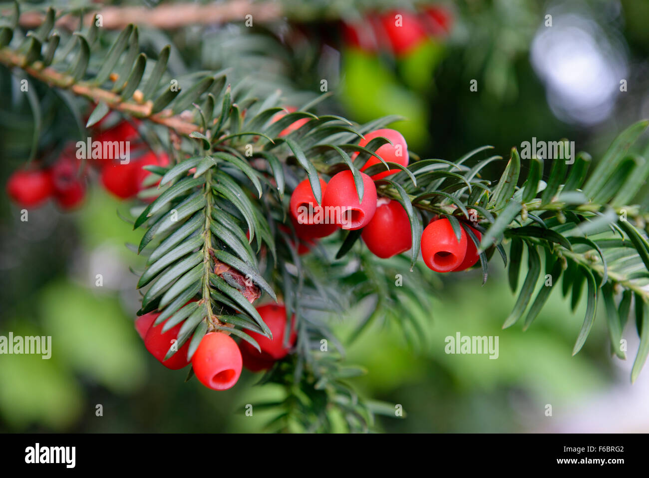 English yew or European yew (Taxus baccata) with red berries, Germany - Stock Image