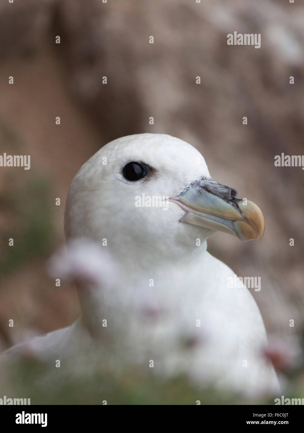 Head of a Northern fulmar nesting on a cliff-face ledge, located on Hirta in the St Kilda archipelago, Scotland, - Stock Image
