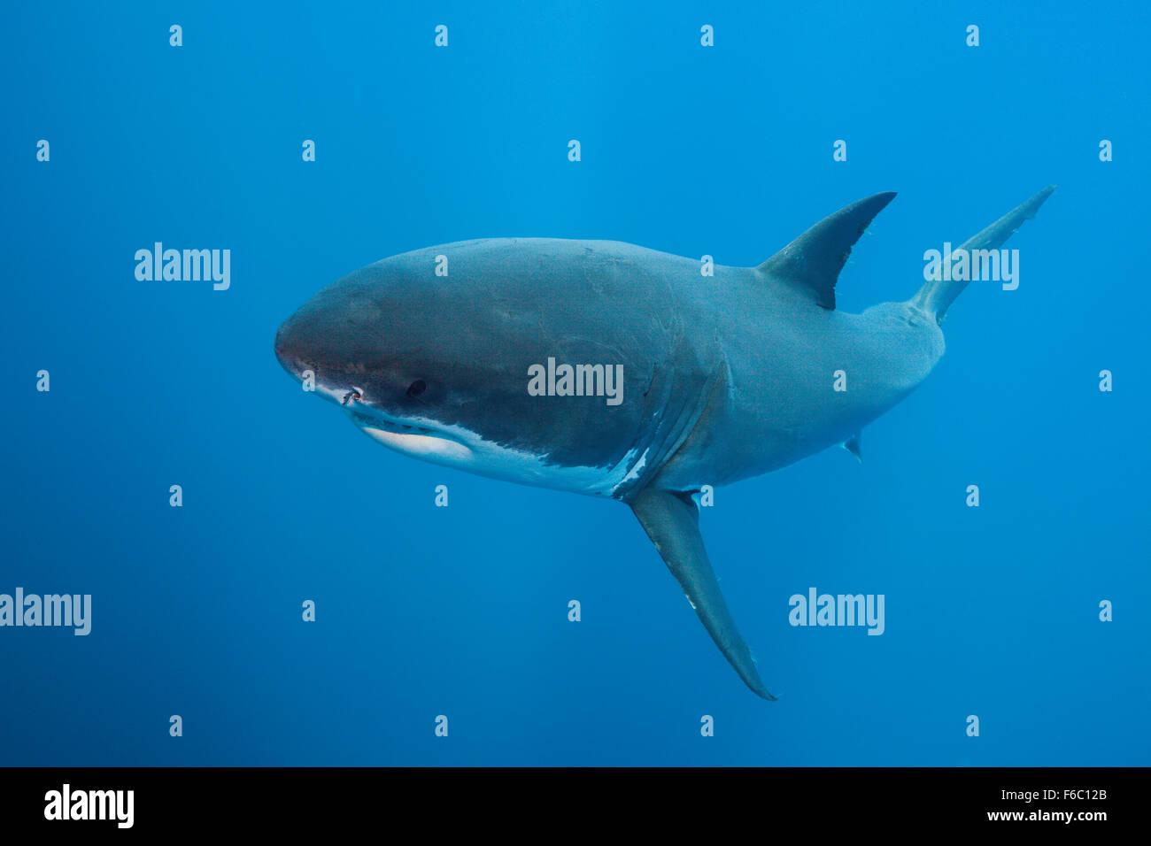 Great White Shark, Carcharodon carcharias, Neptune Islands, Australia - Stock Image