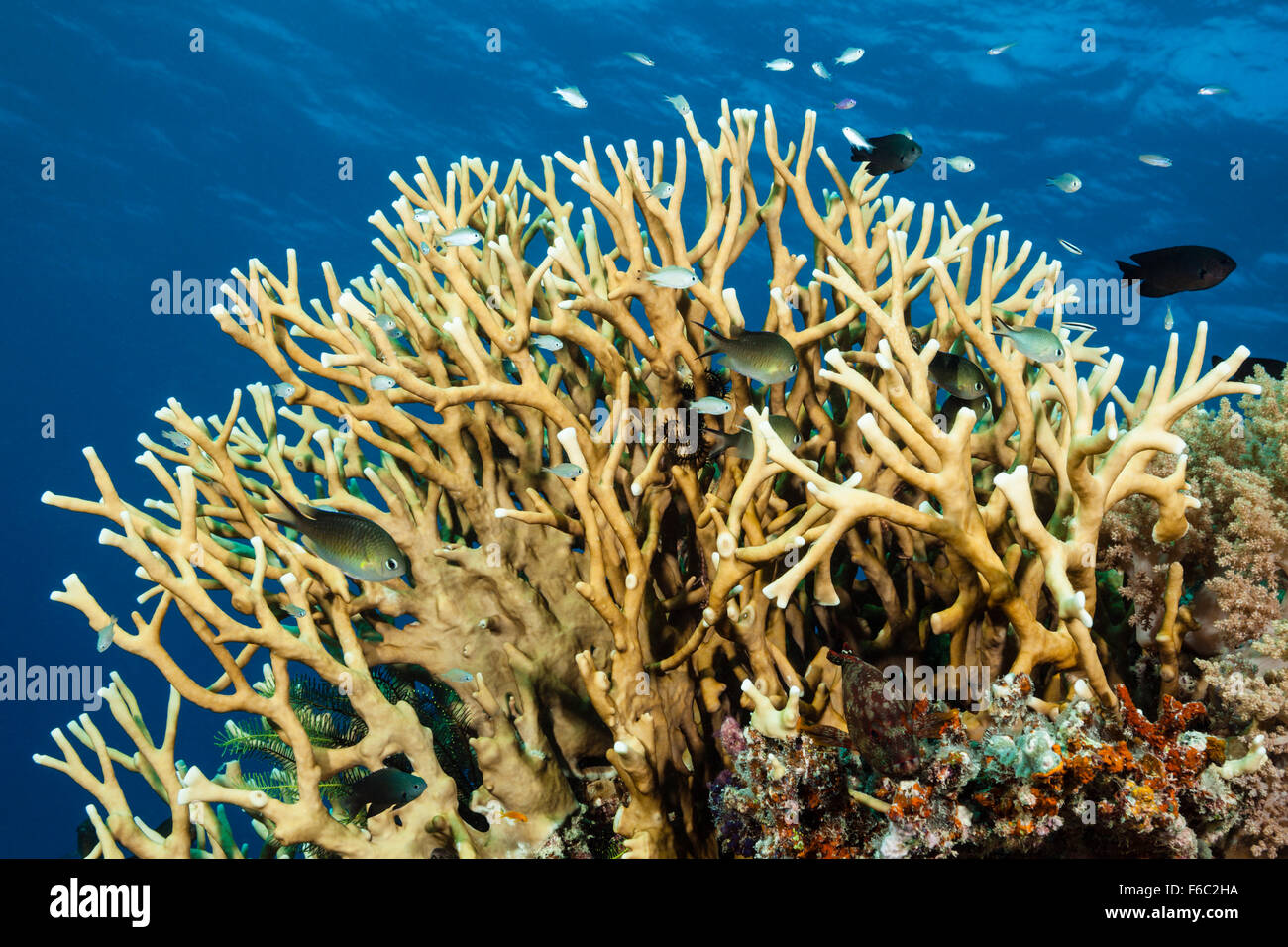 Coralfishes in Fire Coral, Great Barrier Reef, Australia - Stock Image
