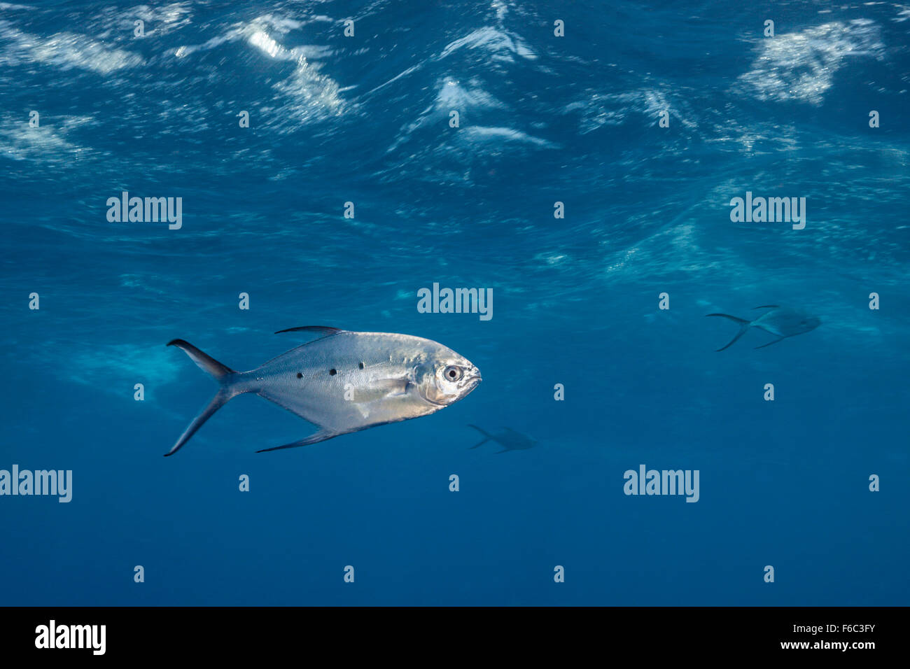 Black spotted Pompano, Trachinotus bailloni, Great Barrier Reef, Australia - Stock Image