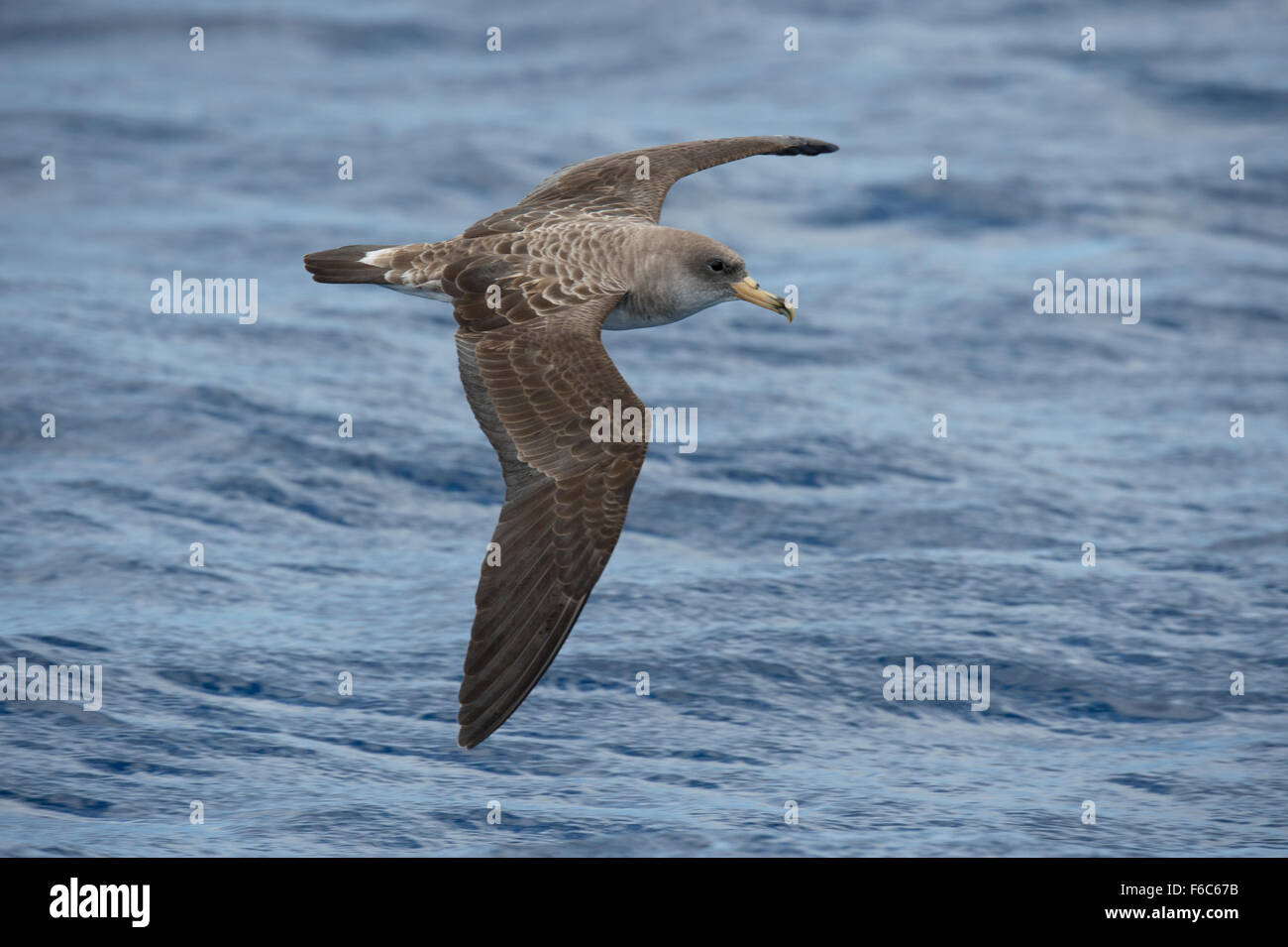 Cory's Shearwater, Calonectris diomedea, gliding over ocean, Pico, Azores, North Atlantic Ocean - Stock Image