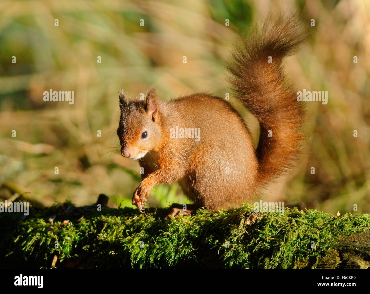 Red squirrel in profile on a mossy fallen tree - Stock Image