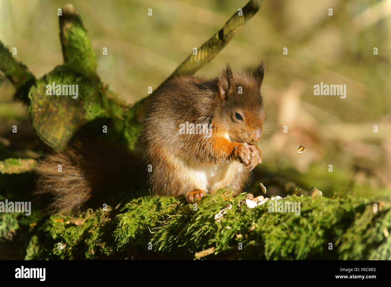 Red squirrel in profile feeding on nuts and seeds - Stock Image