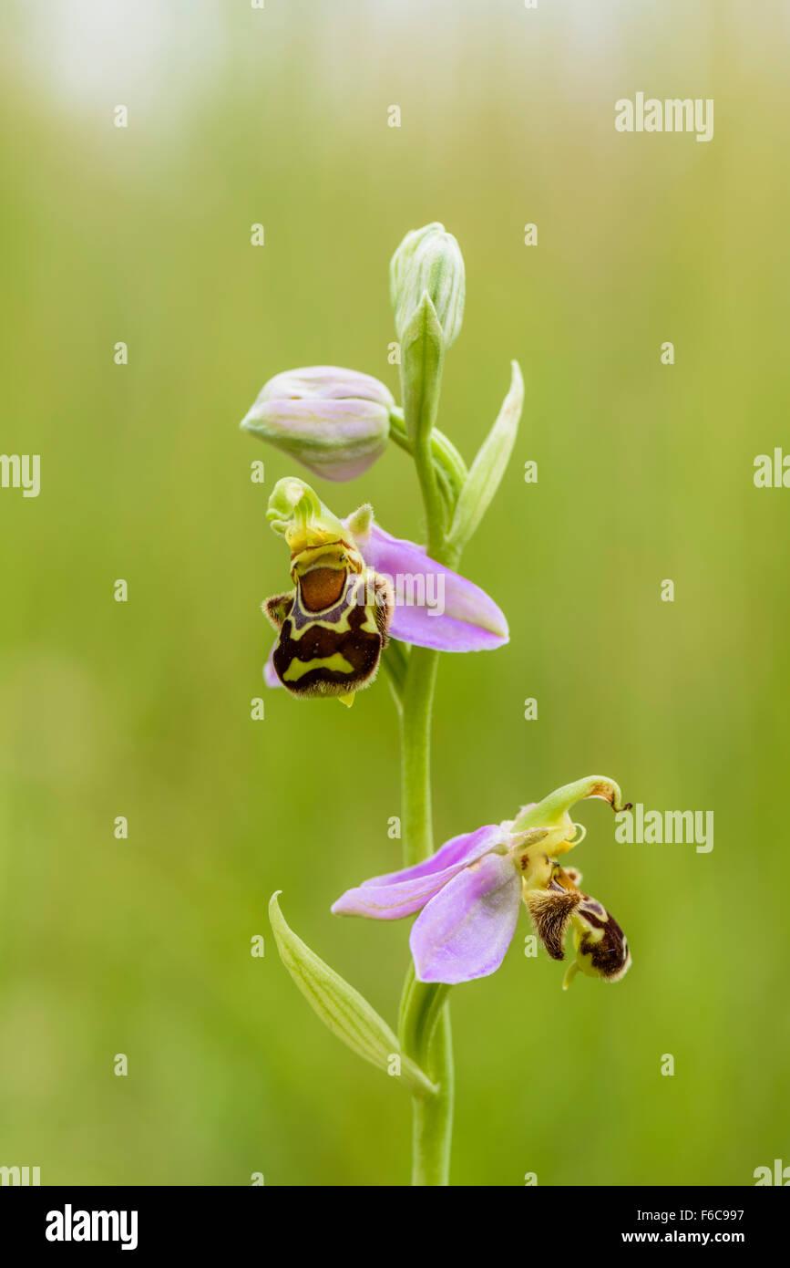 Bienen Ragwurz, Ophrys apifera, Bee Orchid - Stock Image
