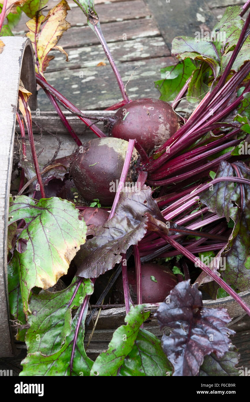 Step-by-step. Storing root vegetable beetroot in a box. Step # 1 harvested into a wooden trug - Stock Image