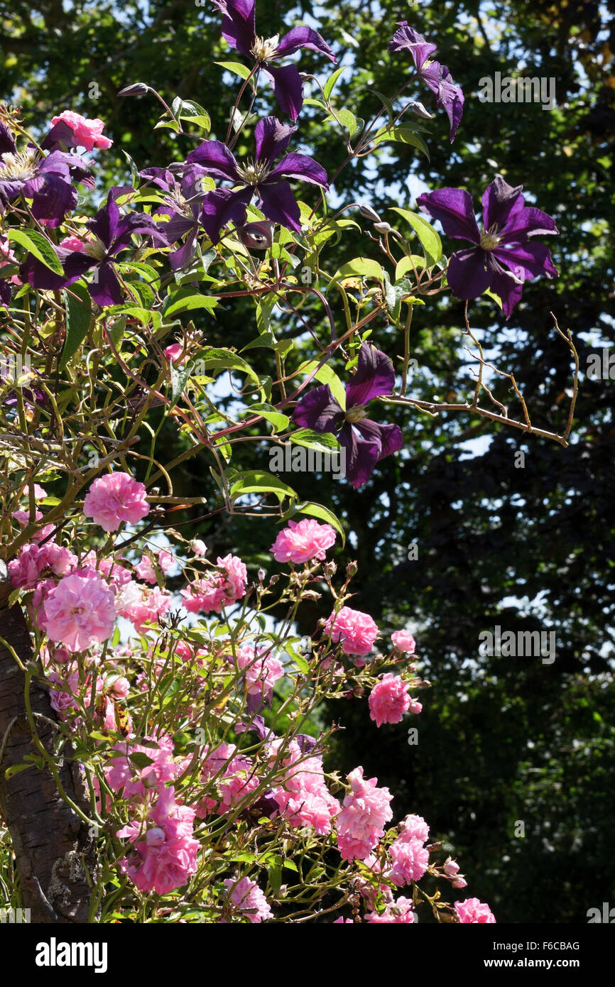 Clematis 'Etoile Violette' growing through Rosa (rose) 'Dorothy Perkins' Stock Photo